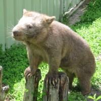 Wombataus